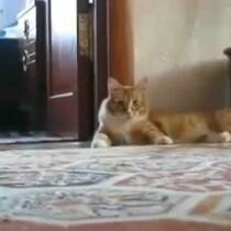 Cat walking on 2 legs VIDEO