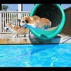 WATCH: Corgi Pool Party