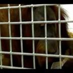 Ape Talks Like A Human?!?