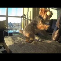 Slow Motion Video of A YORKIE Playing Catch!