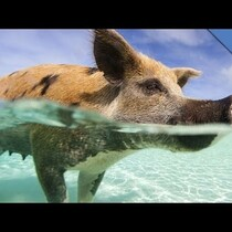 Pigs can't fly...but they can SWIM!