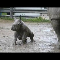 Baby Rhino taking it's first mud bath at Lion Country Safari: