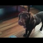 Lazy Dog Plays Fetch