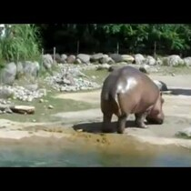 Yes, Even Hippos Fart