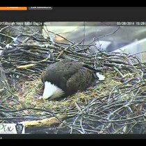 Pittsburgh Bald Eagle Egg Hatches