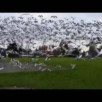 A geese tsunamii