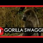 Check Out This Gorilla's Swagger!