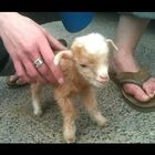 Baby Goats & More Baby Goats
