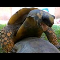 The Last 20 Seconds of Turtles Mating Is Uncomfortable...