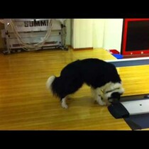 WATCH: Dog confused and spooked by bowling alley buzzer.