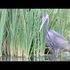 Going Fishing - Heron Style