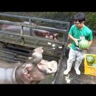 Hippos Eating Watermelons