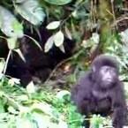 Baby Gorilla Cuteness