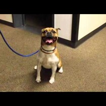 Adopt Starla from the Animal Friends Humane Society!