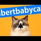 Albert The Munchkin Cat