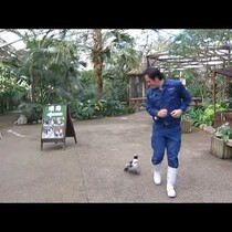 Penguin Chases Zoo Keeper