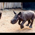 BABY RHINO COMES WHEN HE'S CALLED