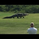 Enormous Alligator Filmed At Golf Course