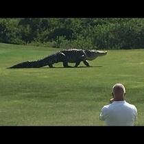 Enormous Alligator Filmed At Golf Course