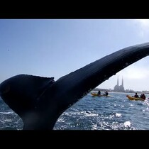 "KAYAKER:  Gets A ""High Five"" From A Humpback Whale"