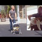 This Giant 28-Pound Cat Goes For 'Walks' In A Stroller