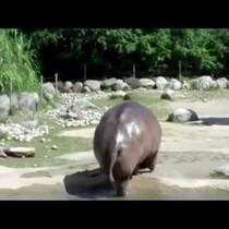 Hippo Farts. Frightens Children.