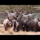 Rhinos & Goats Are BFF's In Real Life