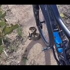 Cyclist Comes Across A Good Sized Rattle Snake. What would you do?