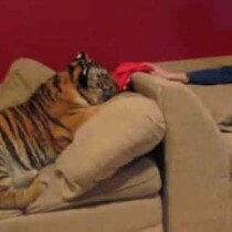 Jonas The Tiger Just Wants Love...And Pizza!