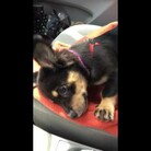 Puppy Throws The Most Adorable Tantrum