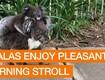 CUTE: Momma Koala Leisurely Stroll Down The Street