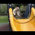 Dogs Playing on Slides