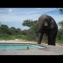 Elephant meets couple at the pool!!!