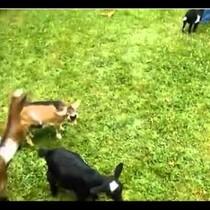 Flipping Baby Goat!!!