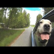 MUST WATCH: Dogs in Cars!