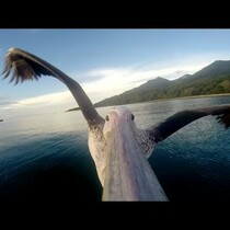 A pelican's first flight after rehab--and a camera records it all!