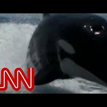 Killer Whale Chases Boat