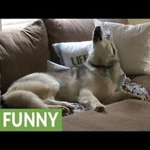 WATCH:  Lazy Husky