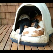 How many Bassett Hounds can you get in one SMALL Dog House?