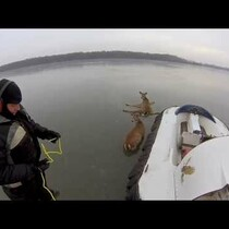 Amazing rescue of two deer who are stuck in the middle of a frozen lake...