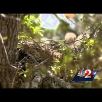 WATCH Hawks attack residents in Port Orange!