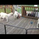 Golden Retrievers get a Surprise Ball-Pit Party!