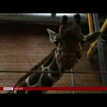 VIDEO: Did The Zoo Have To Kill This Giraffe?