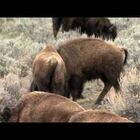 (SAD) Baby Bison Put Down After Being Put Into Tourists' SUV