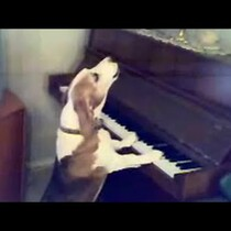 Beagle plays the piano & sings!