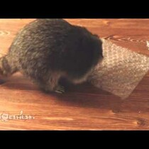 WATCH: Raccoons love bubblewrap too!