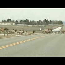 Watch: Elk attempts to jump fence to follow massive herd but fails miserably