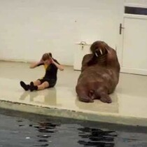 A walrus works out... WELL!