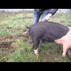 How to uncurl a pig's tail
