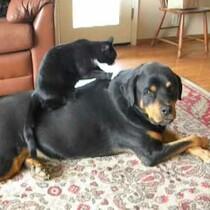 Lucky Rottie Gets Kitty Massage!